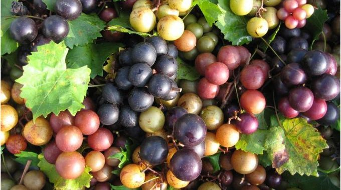$20 Million for Grape Extract?