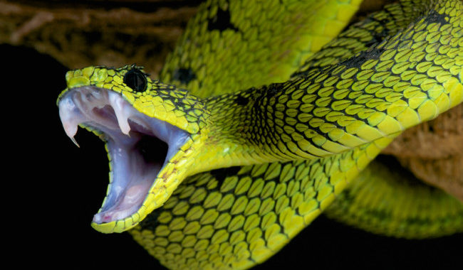 A Man's Penis bitten by a Snake – OUCH!